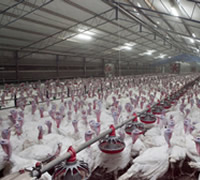 Australian turkey farming